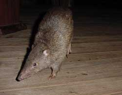 bandicoot, one of the many daintree rainforest animals