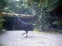 cassowary at rainforest hideaway in cape tribulation