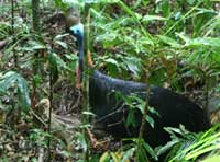 cassowary with chick