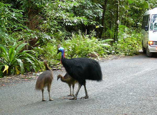 Cassowary in the Cape Tribulation Daintree National Park
