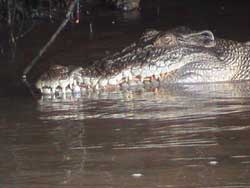 the crocodile has survived in teh cape tribulation area for millions of years